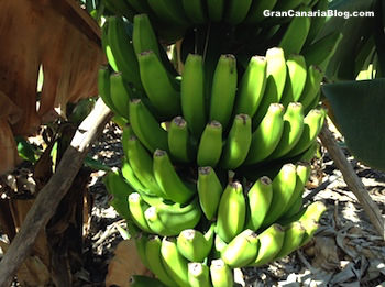 Banana tree in Veneguera Gran Canaria