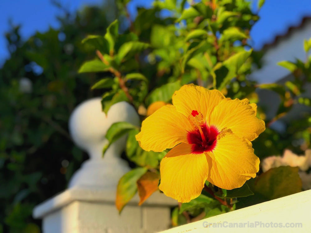 Yellow Hibiscus Flower in Gran Canaria